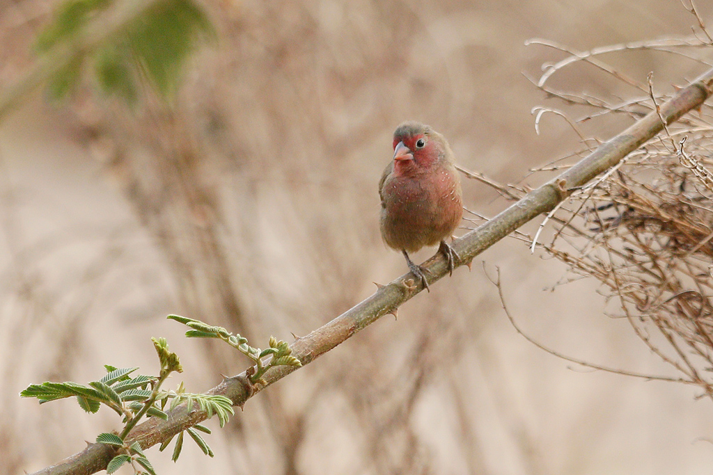 Bar-breasted Firefinch / Near Benoue National Park, Cameroon / January 2017