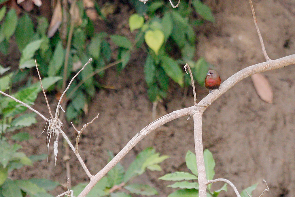 Black-bellied Firefinch / Near Benoue National Park, Cameroon / February 2017