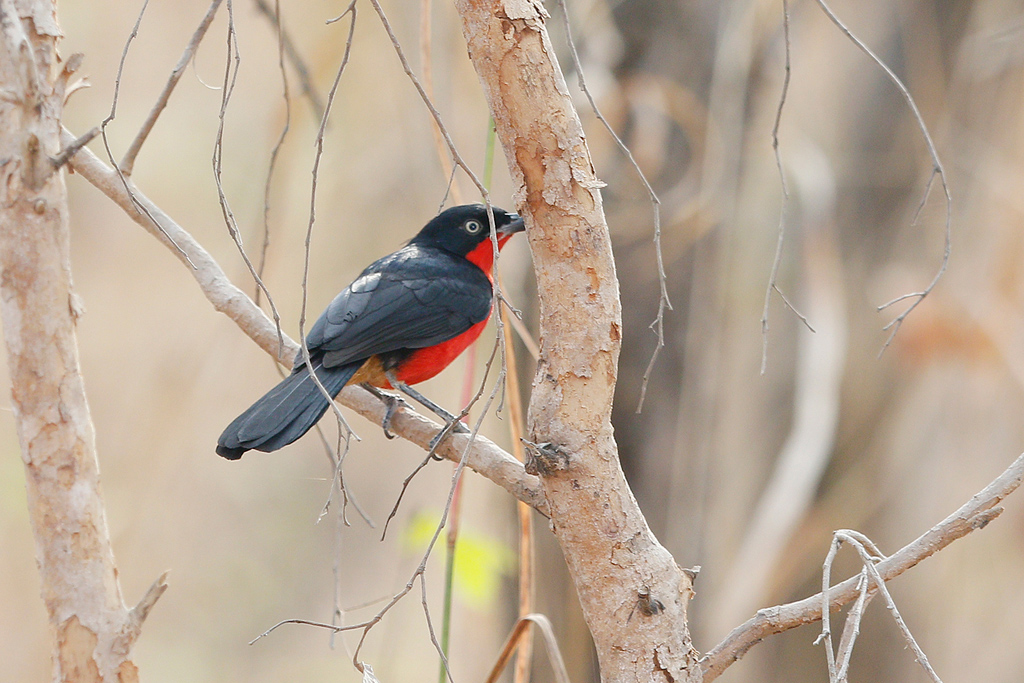 Black-headed Gonolek/ Near Benoue National Park, Cameroon / January 2017