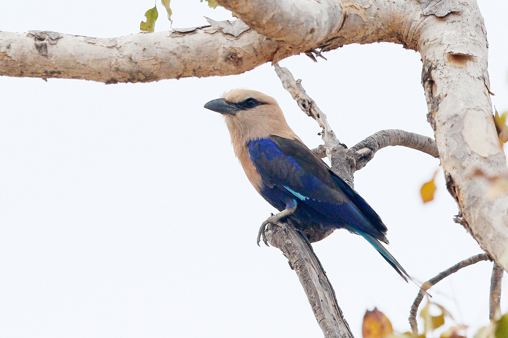 Blue-bellied Roller / Near Benoue National Park, Cameroon / January 2017