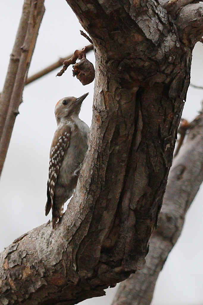 Brown-backed Woodpecker / Near Benoue National Park, Cameroon / February 2017
