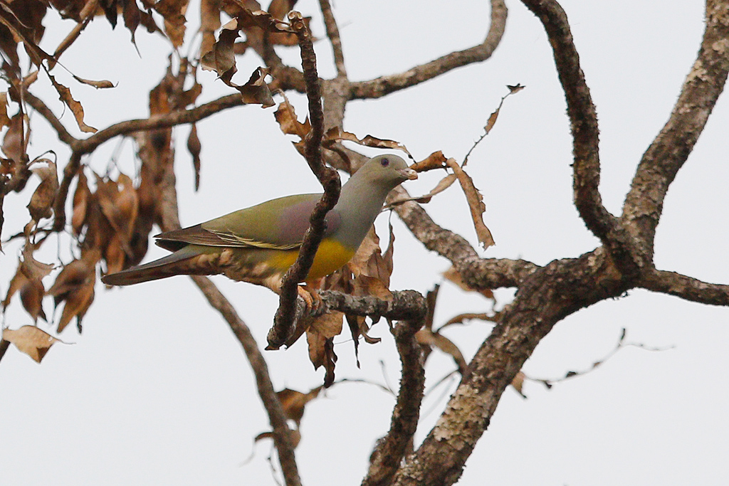 Bruce's Green Pigeon / Near Benoue National Park, Cameroon / February 2017