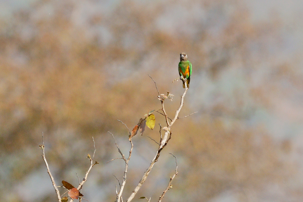 Senegal Parrot / Near Benoue National Park, Cameroon / February 2017