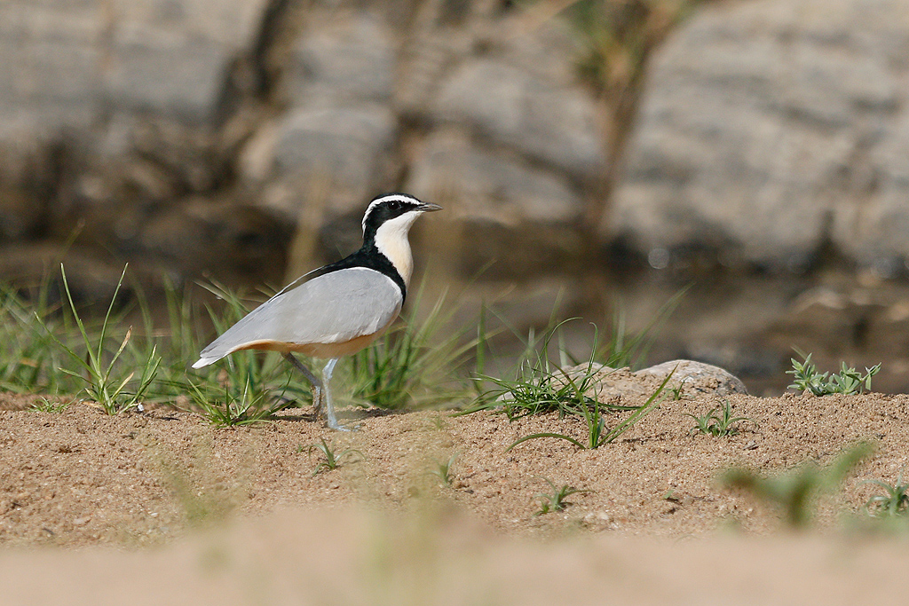 Egyptian Plover / Near Benoue National Park, Cameroon / January 2017