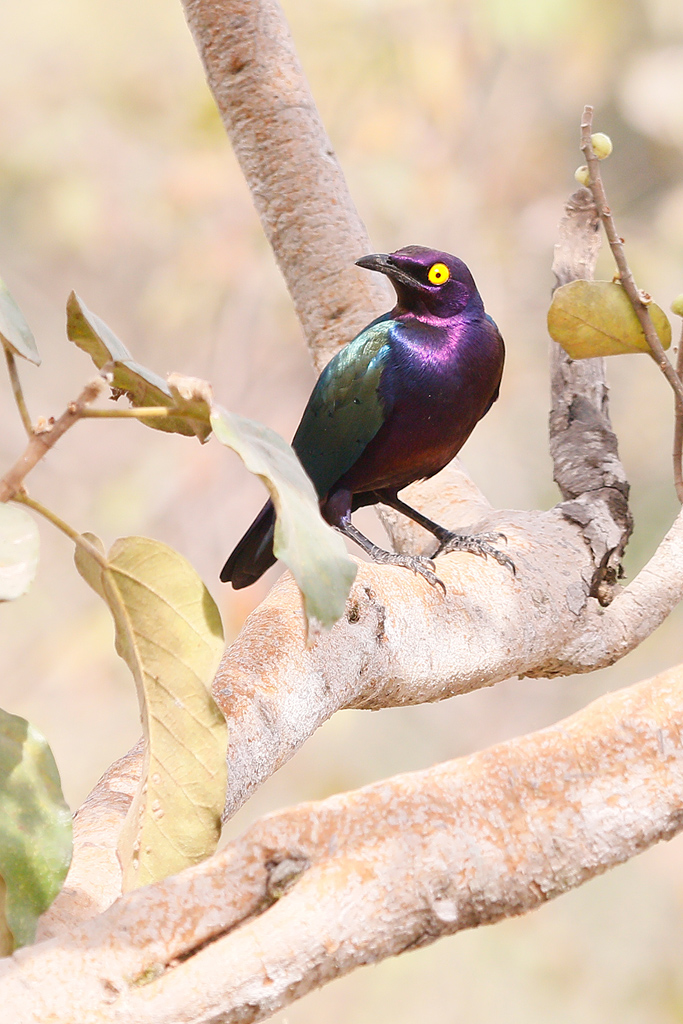 Purple Glossy Starling / Near Benoue National Park, Cameroon / January 2017