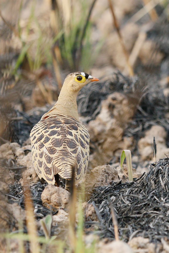 Four-banded Sandgrouse (male) / Near Benoue National Park, Cameroon / February 2017