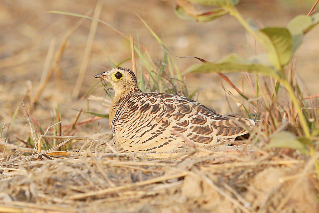 Four-banded Sandgrouse (female) / Near Benoue National Park, Cameroon / February 2017
