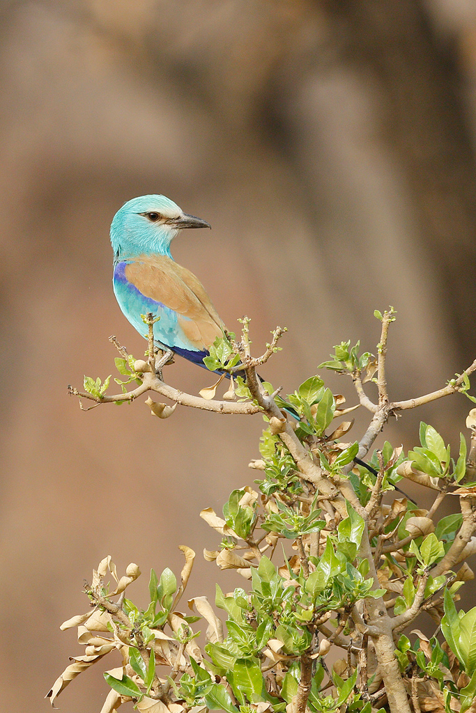 Abyssinian Roller / Near Benoue National Park, Cameroon / January 2017