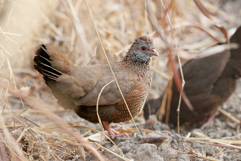 Stone Partridge / Near Benoue National Park, Cameroon / January 2017