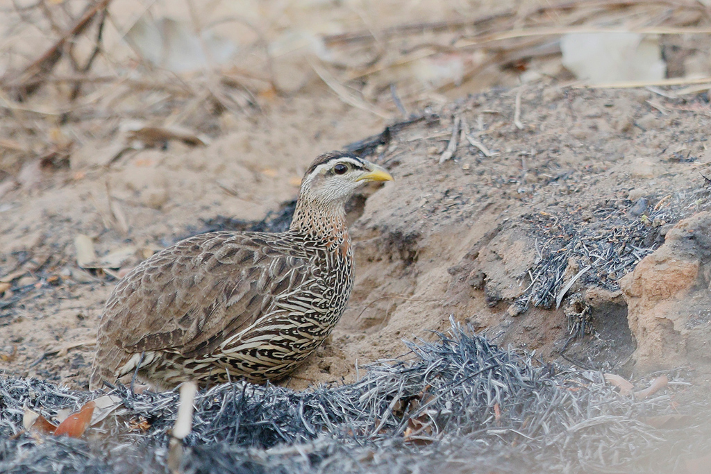 Double-spurred Spurfowl / Near Benoue National Park, Cameroon / January 2017