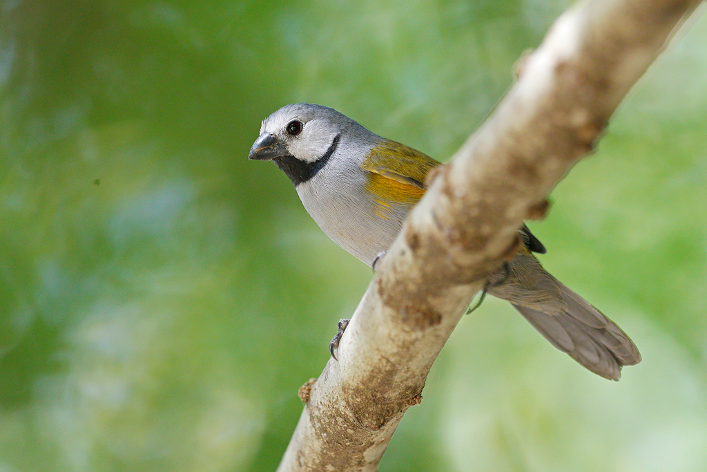Grey-headed Oliveback / Near Benoue National Park, Cameroon / February 2017