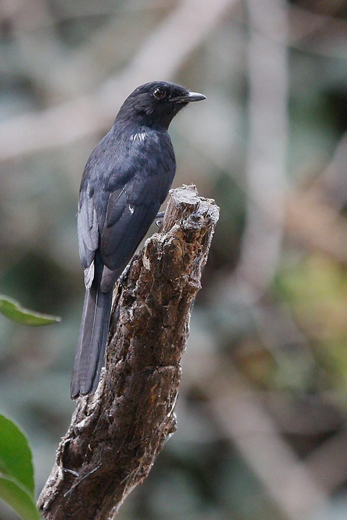 Northern Black Flycatcher / Near Benoue National Park, Cameroon / February 2017