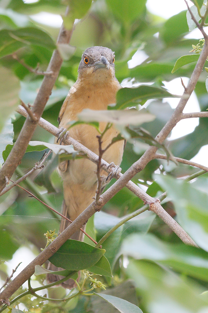 Northern Puffback (female) / Near Benoue National Park, Cameroon / January 2017