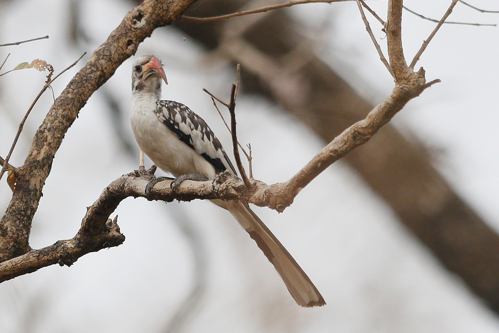 Northern Red-billed Hornbill / Near Benoue National Park, Cameroon / February 2017