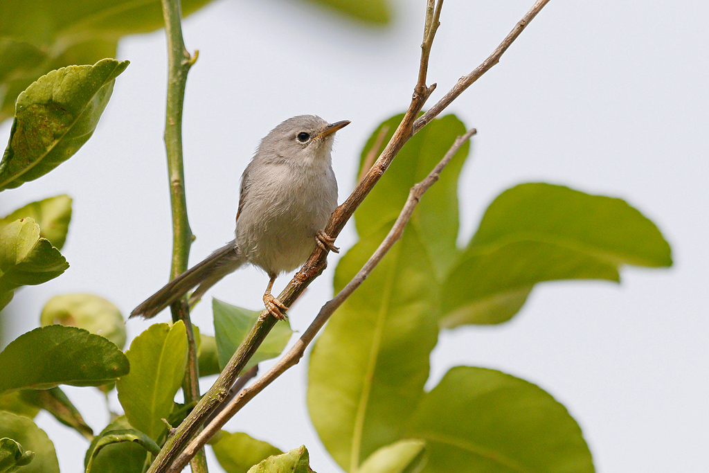 Red-winged Grey Warbler / Near Benoue National Park, Cameroon / February 2017