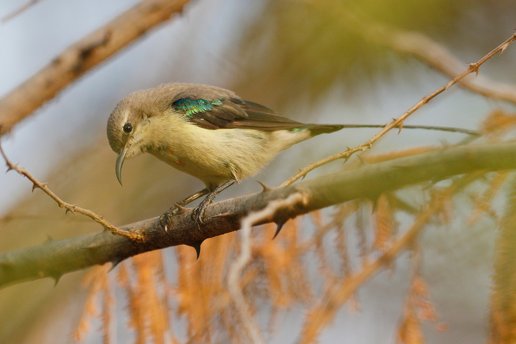 Beautiful Sunbird / Near Benoue National Park, Cameroon / February 2017