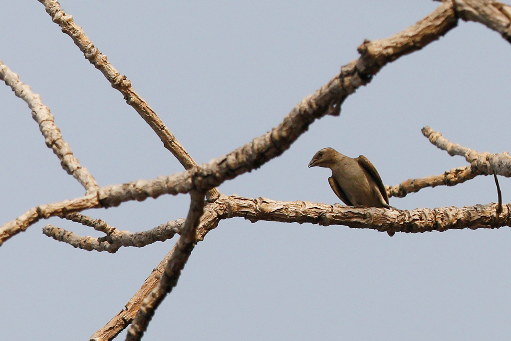 Thick-billed Honeyguide / Near Benoue National Park, Cameroon / January 2017