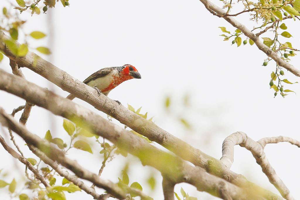 Vieillot's Barbet / Near Benoue National Park, Cameroon / January 2017