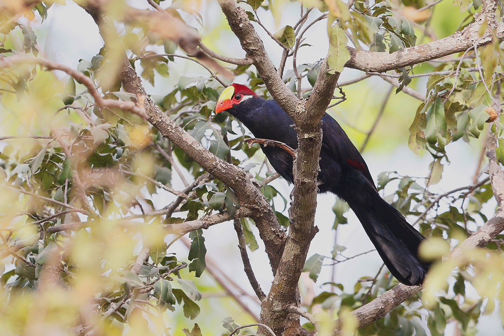 Violet Turaco / Near Benoue National Park, Cameroon / January 2017