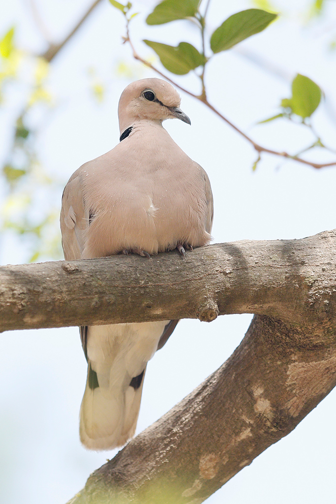 White-collared Dove / Near Benoue National Park, Cameroon / January 2017