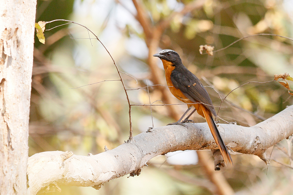 White-crowned Robin Chat / Near Benoue National Park, Cameroon / January 2017