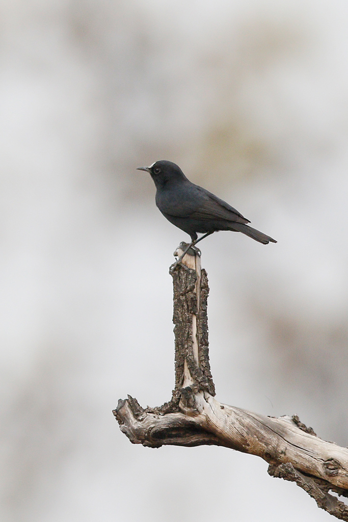 White-fronted Black Chat / Near Benoue National Park, Cameroon / February 2017