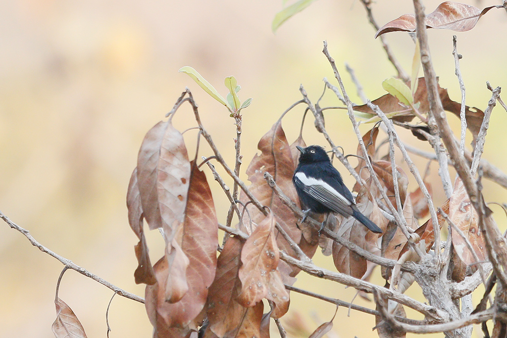 White-winged Tit / Near Benoue National Park, Cameroon / January 2017