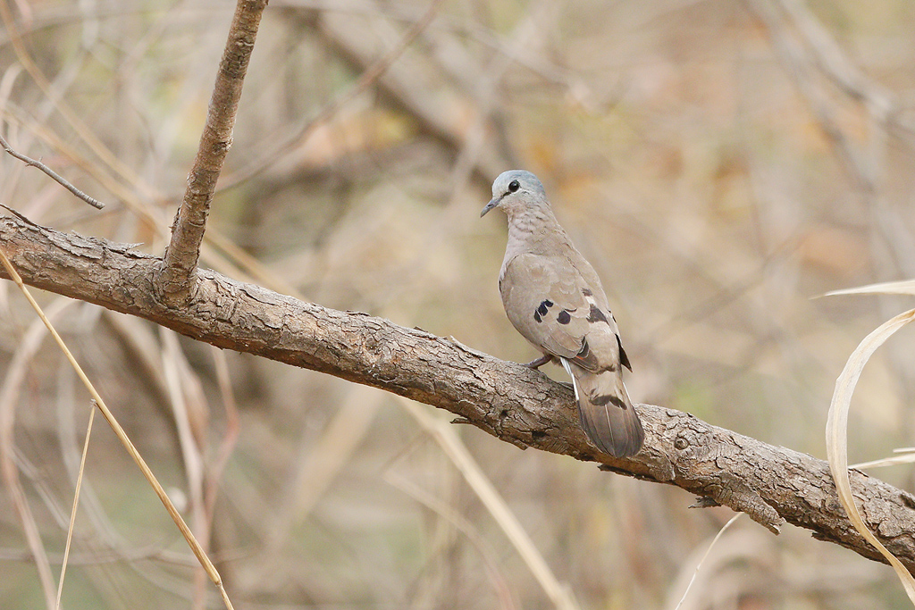 Black-billed Wood Dove / Near Benoue National Park, Cameroon / January 2017