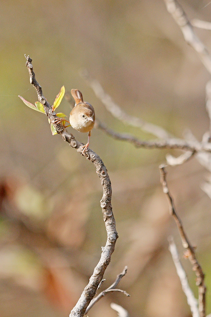 Rufous Cisticola / Near Benoue National Park, Cameroon / January 2017