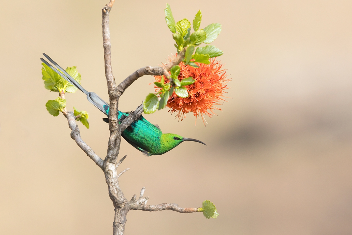 Malachite Sunbird – Giant's Castle, Central Drakensberg, KZN, South Africa