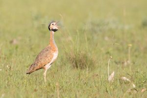 Africa Bird Photography / Barrow's or Southern White-bellied Korhaan / Dirkiesdorp, Mpumalanga, South Africa