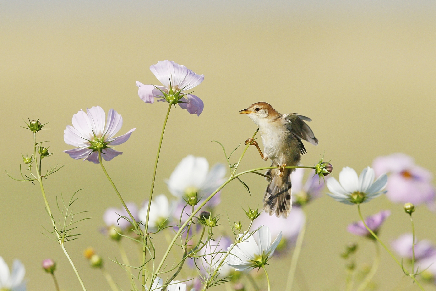 Leveillant's Cisticola – just add