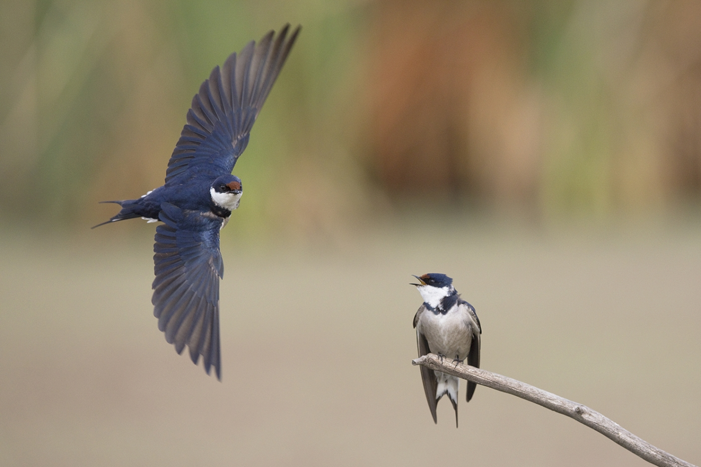 White-throated Swallow – replace namaqua sandgrouse