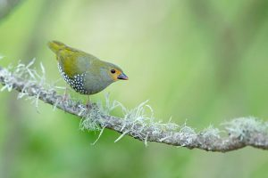 Special Birds / Green Twinspot / Kurisa Moya, South Africa