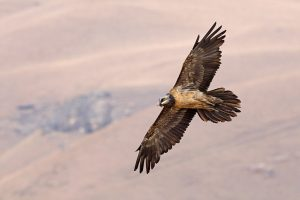 Special Birds / Bearded Vulture / Giant's Castle, South Africa