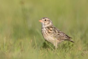 Special Birds / Botha's Lark / Wakkerstroom, South Africa
