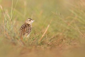 Special Birds / Rudd's Lark / Wakkerstroom, South Africa/ Jan 2018