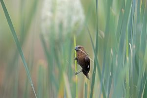 South African Bird Photographer / Thick-billed Weaver / Ntsinini Private Trout Farm, South Africa
