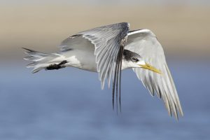 Bird Photography / 2018-03-26 / Greater Crested or Swift Tern / Umngazi River Bungalows, Eastern Cape, SA