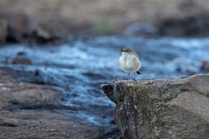 Bird Photography / 2018-03-29 / Sickle-winged Chat / Naude's Nek, Eastern Cape, SA