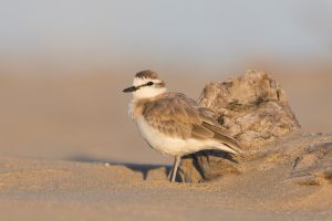Bird Photography / 2018-03-26 / White-fronted Plover / Umngazi River Bungalows, Eastern Cape, SA