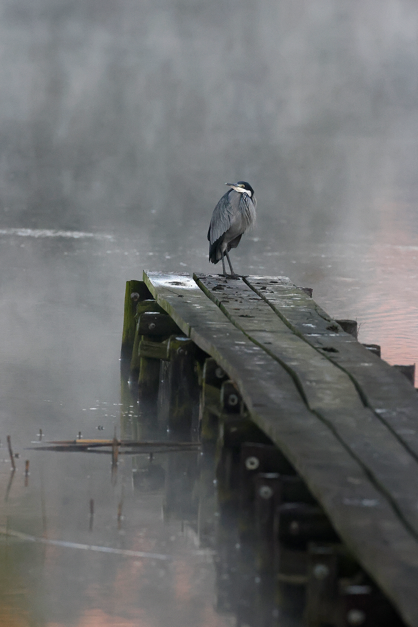 """""""Misty Mornings"""" ~ A Black-headed Heron stands motionless on a small jetty on a dam in the Natal Midlands, South Africa."""