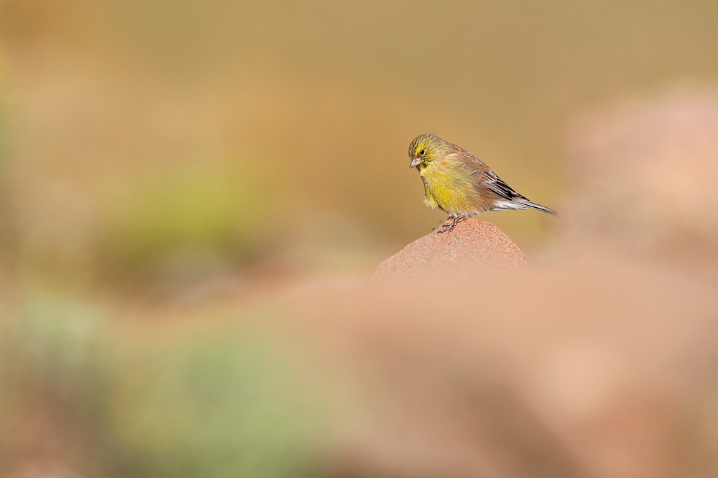 A male, Drakensberg Siskin sits on a boulder amongst boulders at the top of Naude's Nek.