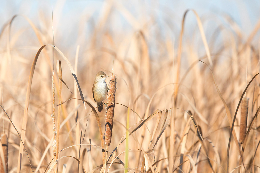 A Lesser Swamp Warbler creeps to the top of a prominent reed at Marievale Bird Sanctuary.