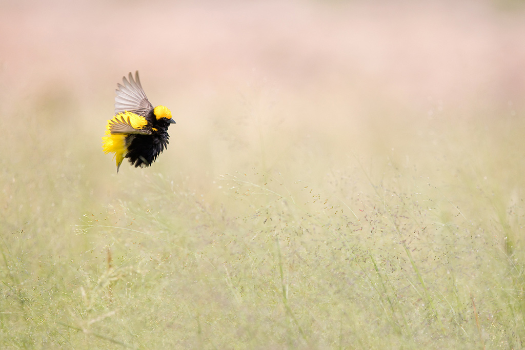 """The Flight of the Bumblebee"" ~ A male, Yellow-crowned Bishop bursts from the cover of his tall, grassland habitat in search of a nearby female."
