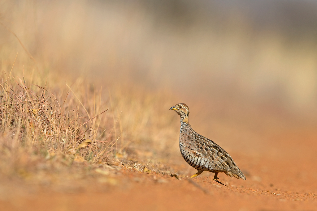 A male, Coqui Francolin cross a red-solied, farm road to take cover in thick roadside grassland.