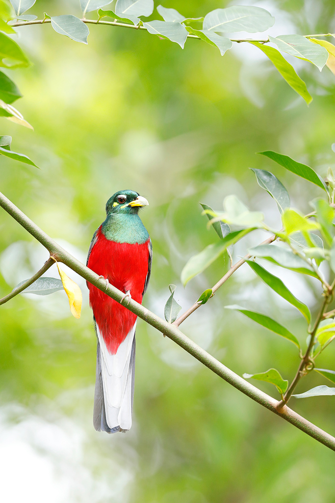 A Narina Trogon sits motionless low down in the canopy of lowalnd forest in Coutada 11, Mozambique.