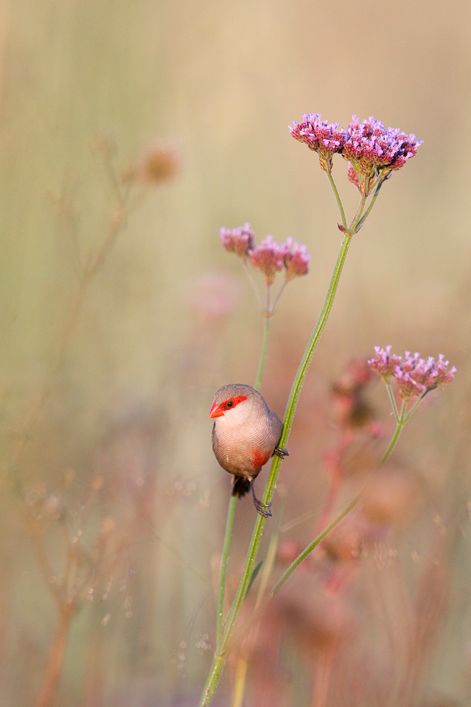 A Common Waxbill perches for a brief moment amongst a field of flowers at Rietvlei Nature Reserve.