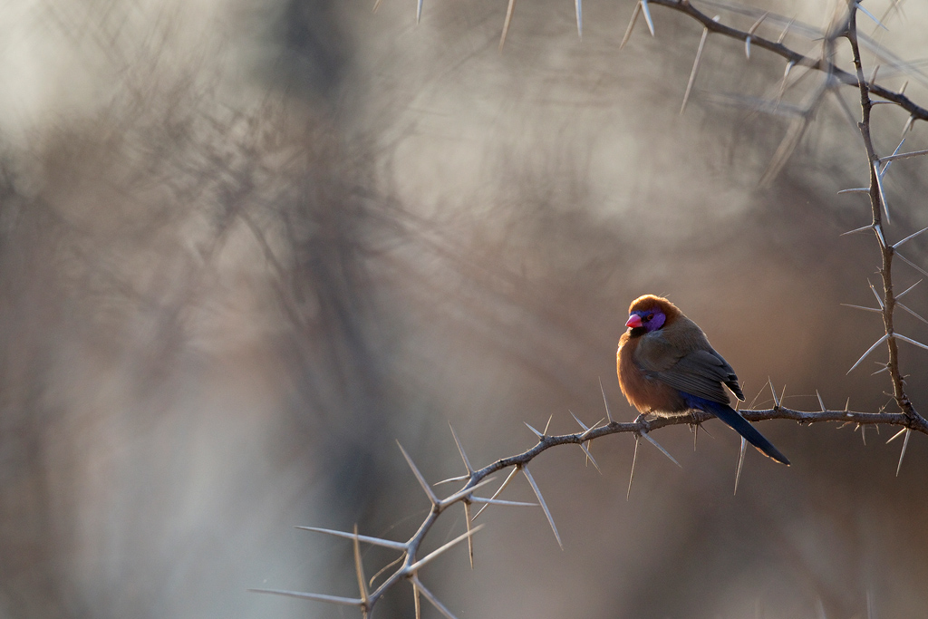 """Winter in the Bushveld"" ~ A Violet-eared Waxbill catches the first rays of the winter sun at Dinokeng Nature Reserve."