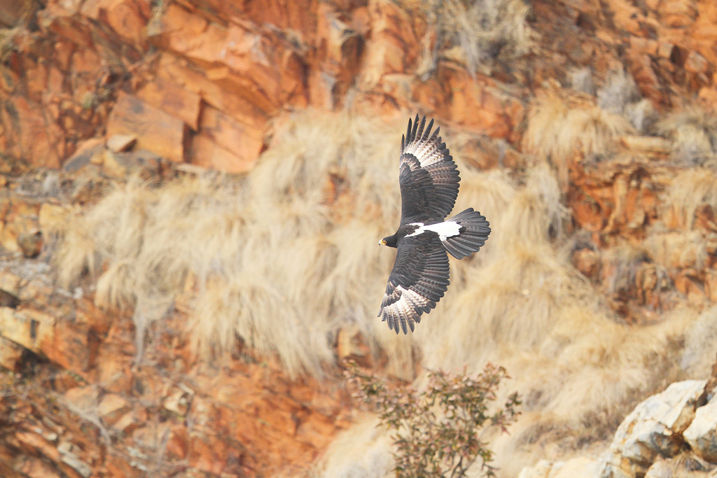 """Eagle's Eye View"" ~ A Verreaux Eagle glides over the cliffs of the Walter Sisulu Botanical Gardens."